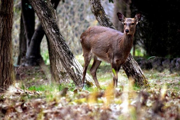 若桜町の鹿がおいしい理由は?